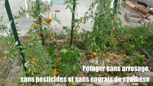 Potager sans arrosage, sans pesticides et sans engrais de synthèse.